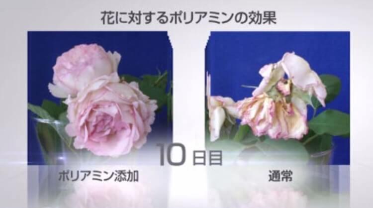 ポリアミンを混ぜた切り花は10日後も活き活きしている。RF28ミラクルワンリッチ&モイストにはフィトポリアミンが配合